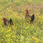 La strana coppia: il composter e la gallina