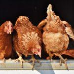 Allevare galline in casa: la gallina migliore