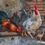 Allevare galline in casa: cervello di gallina a chi?/1